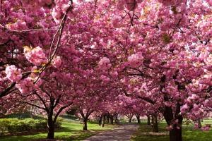 Arbori infloriti