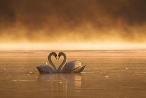 Lebede iubire